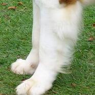 圣伯纳犬前驱图片