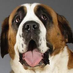 圣伯纳犬头部图片
