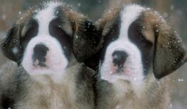 圣伯纳犬图片