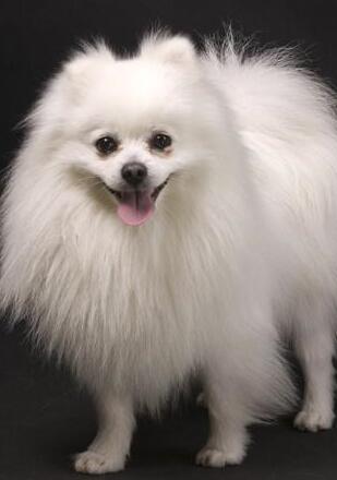 博美犬高清图片