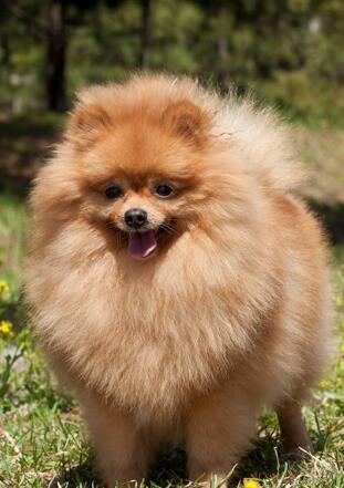 博美犬幼犬图片