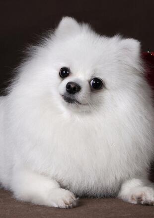 可爱的博美犬图片
