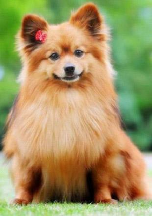 标准博美犬图片欣赏