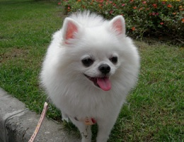 成年博美犬图片