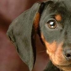 腊肠犬耳朵图片