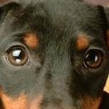 腊肠犬眼睛图片