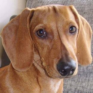 腊肠犬头部图片