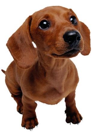 腊肠犬高清图片