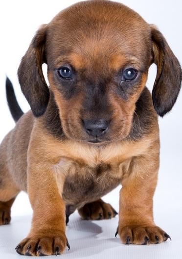纯种腊肠犬图片