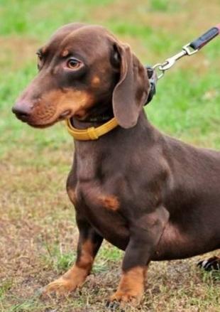 腊肠犬幼犬图片
