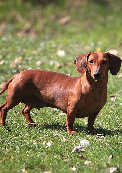 可爱的腊肠犬图片