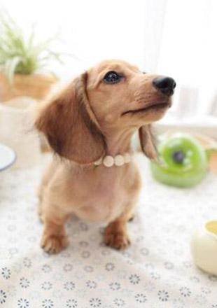 成年腊肠犬图片