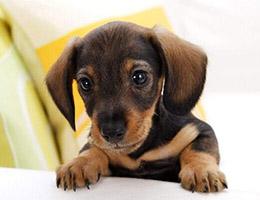 腊肠犬图片