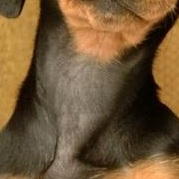 腊肠犬颈部图片