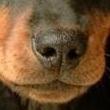 腊肠犬鼻子图片
