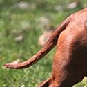腊肠犬尾巴图片