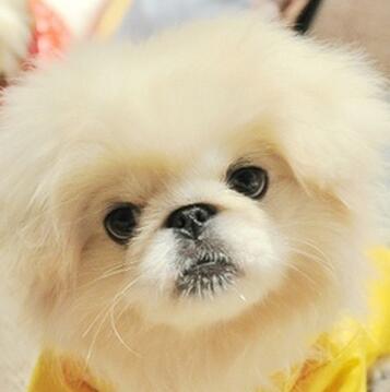 京巴狗头部图片