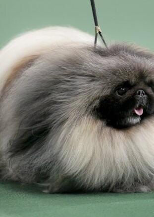 纯种京巴狗图片