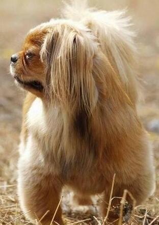 京巴狗幼犬图片