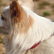 京巴狗颈部图片