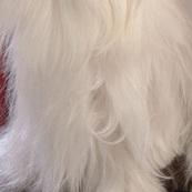 马尔济斯犬胸部图片