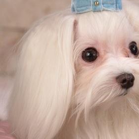 马尔济斯犬耳朵图片