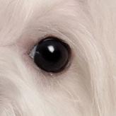 马尔济斯犬眼睛图片