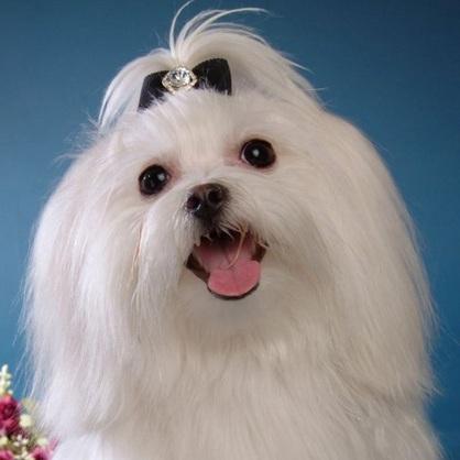马尔济斯犬头部图片