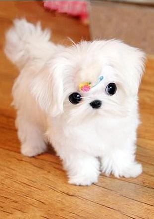 马尔济斯幼犬图片