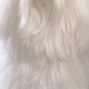 马尔济斯犬颈部图片
