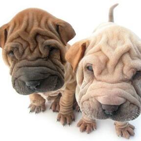 沙皮狗颜色图片