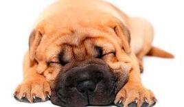 沙皮狗图片