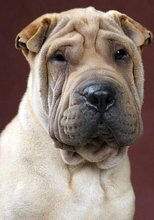 纯种沙皮狗图片