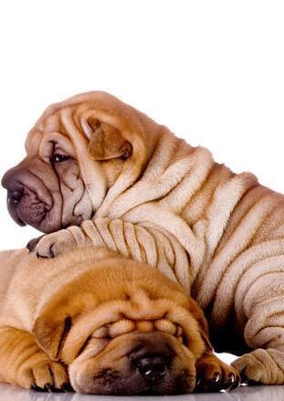 沙皮狗幼犬图片
