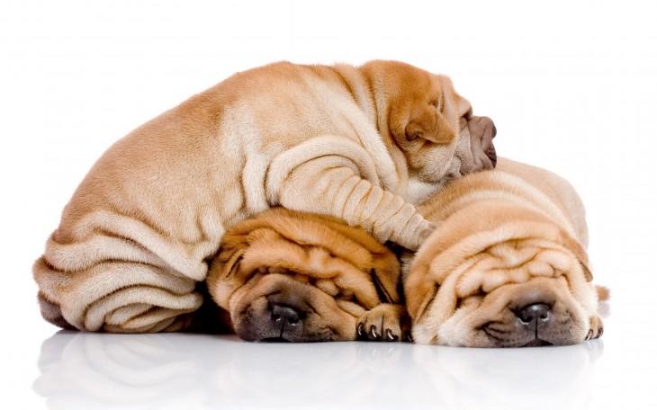 可爱的沙皮狗图片