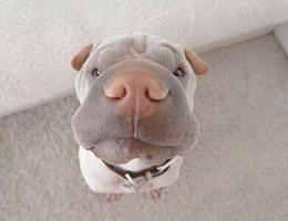 标准沙皮狗图片欣赏
