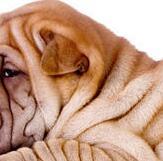 沙皮狗颈部图片