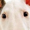 牛头梗眼睛图片