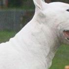 牛头梗颈部图片