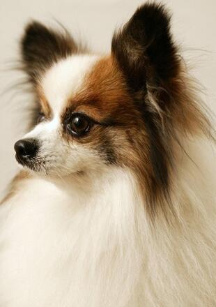 蝴蝶犬幼犬图片