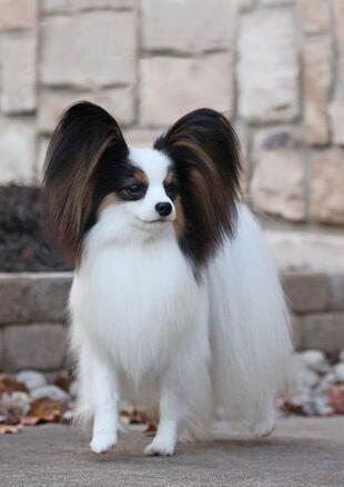 可爱的蝴蝶犬图片