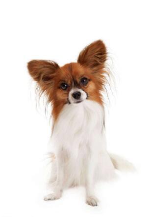 成年蝴蝶犬图片