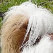 蝴蝶犬尾巴图片
