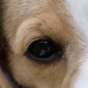 比格犬眼睛图片