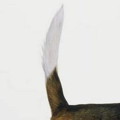 比格犬尾巴图片