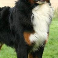 伯恩山犬胸部图片