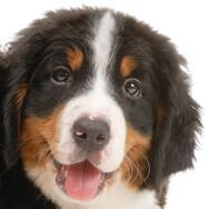 伯恩山犬头部图片