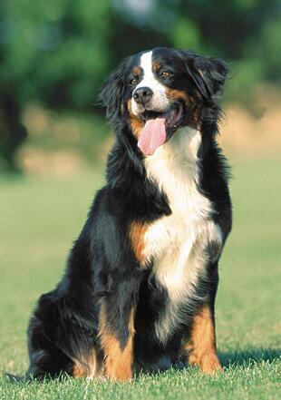 伯恩山犬高清图片