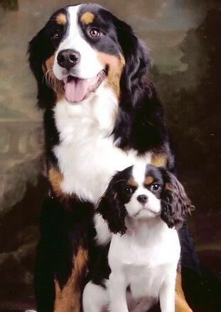 纯种伯恩山犬图片