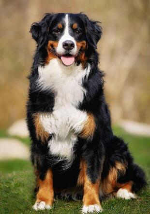 成年伯恩山犬图片